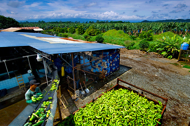 Banana Farm Worker Seperates Bananas From Their Stalks At A Banana Factory In Costa Rica.