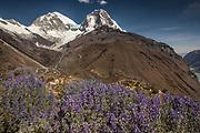 Lupins above Yanganuco valley, two summits of Huascaran on right, Cordillera Blanca, Andes mountains, Peru