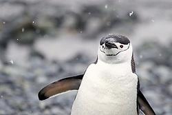 Chinstrap penguin, Half Moon Island, Antarctica