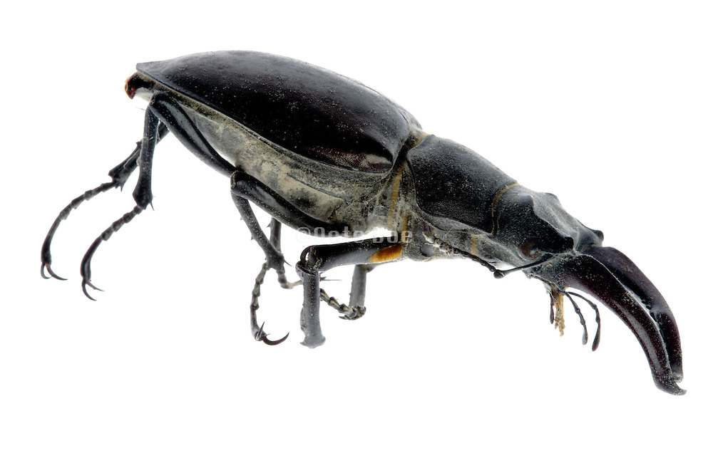 dead stag beetle insect side view