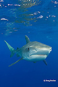 tiger shark, Galeocerdo cuvier, North Shore, Oahu, Hawaii, USA ( Central Pacific Ocean ), remora or sharksucker under chin and fish hook in corner of mouth