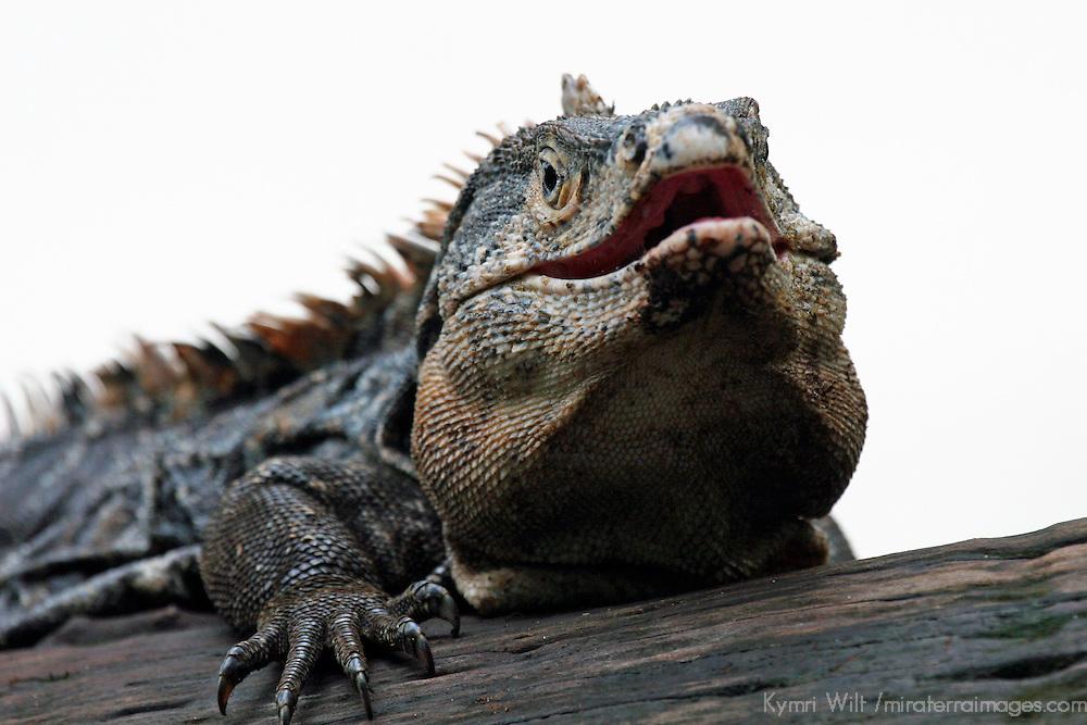 Central America, Costa Rica, Manuel Antonio. Green Iguana.