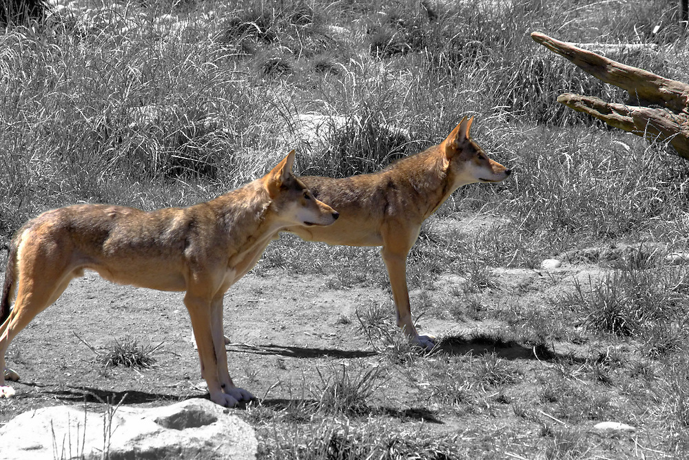 Red wolves selective color