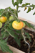 home grown tomato plant with ripening tomatoes