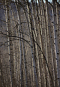 Aspen Trees, Winter, Sequoia and Kings Canyon National Parks, California