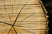 Weathered cross section of tree