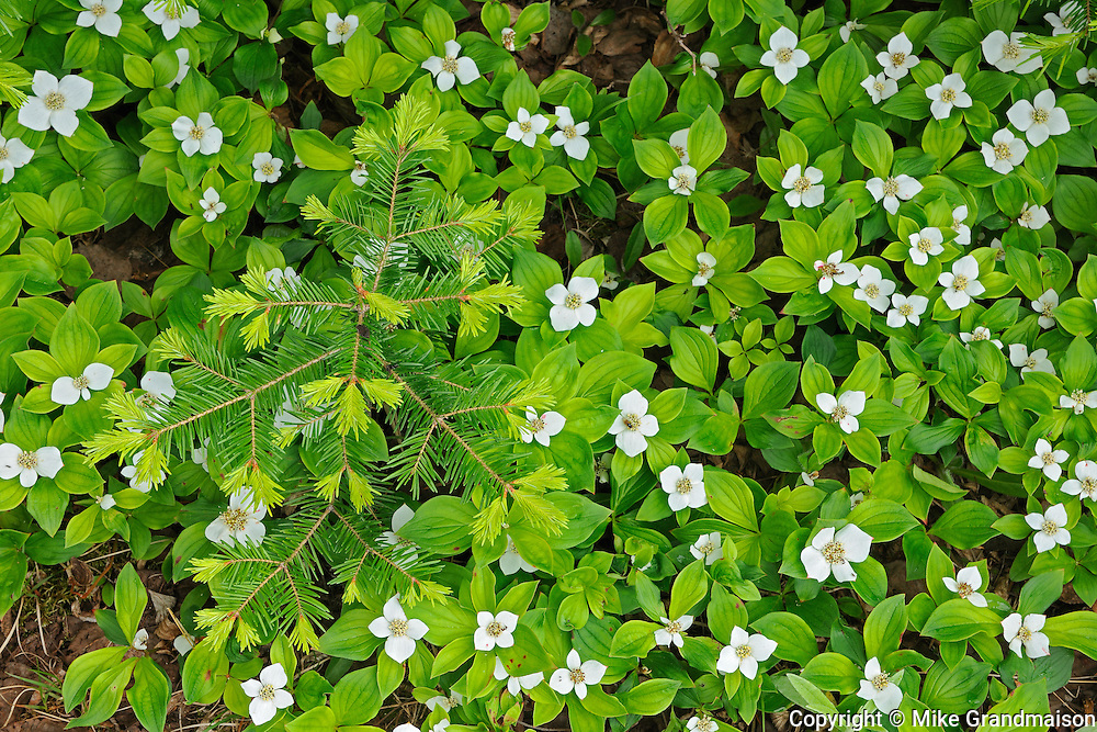 Bunchberries (Cornus canadensis) at edge of boreal forest<br /> Petit Lac A Mars<br /> Quebec<br /> Canada