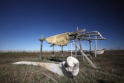 USA ALASKA POINT HOPE 22JUL12 - Polar bear skin hung out to dry at Point Hope, North Slope Borough, Alaska. Point Hope is one of the oldest continually occupied sites in North America...© Jiri Rezac / Greenpeace..Photo by Jiri Rezac / Greenpeace