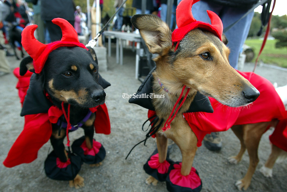 Dogs dressed up as &quot;Our Little Devils&quot; wait for the judging to begin during Dog-O-Ween at Seattle's Genessee Park. The event, sponsored by Citizens for Off-Leash Areas (COLA), featured a costume contest.<br /> John Lok / The Seattle Times