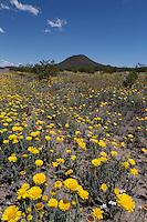 Desert Marigolds (Baileya multiradiata) at Big Bend Ranch State Park,, Texas