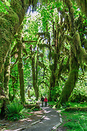 Trail, Trees Covered with Moss, Hoh Rainforest, Olympic National Park, Washington