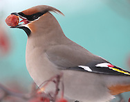A Bohemian waxwing eats mountain ash berries in a tree on Waterfront Drive in Winnipeg, Sunday, February 3, 2013.
