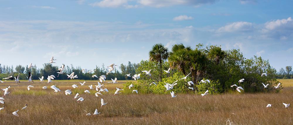Flock of Great Egret, Ardea alba, and Wood Stork, Mycteria americana, birds in flight over wetlands in the Florida Everglades, USA