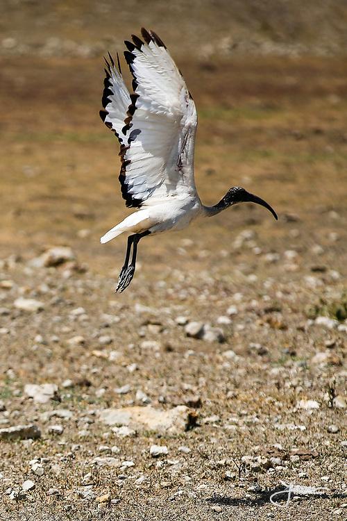 Sacred Ibis, Helig Ibis, Threskiornis Aethiopicus, flying, taking-off