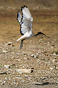 Sacred Ibis, Helig Ibis, Threskiornis Aethiopicus, flying, taking-off