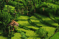 An idyllic Bali rural scene of paddy terraces surrounded by lush bushes and trees.