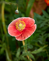 Pale red poppy flower after the rain. Backyard summer nature in New Jersey. Image taken with a Leica T camera and 55-135 mm lens (ISO 100, 135 mm, f/5.6, 1/25 sec).