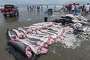 Shark Corpses<br /> Tarqui<br /> Manta<br /> Manabi Province<br /> Ecuador<br /> South America