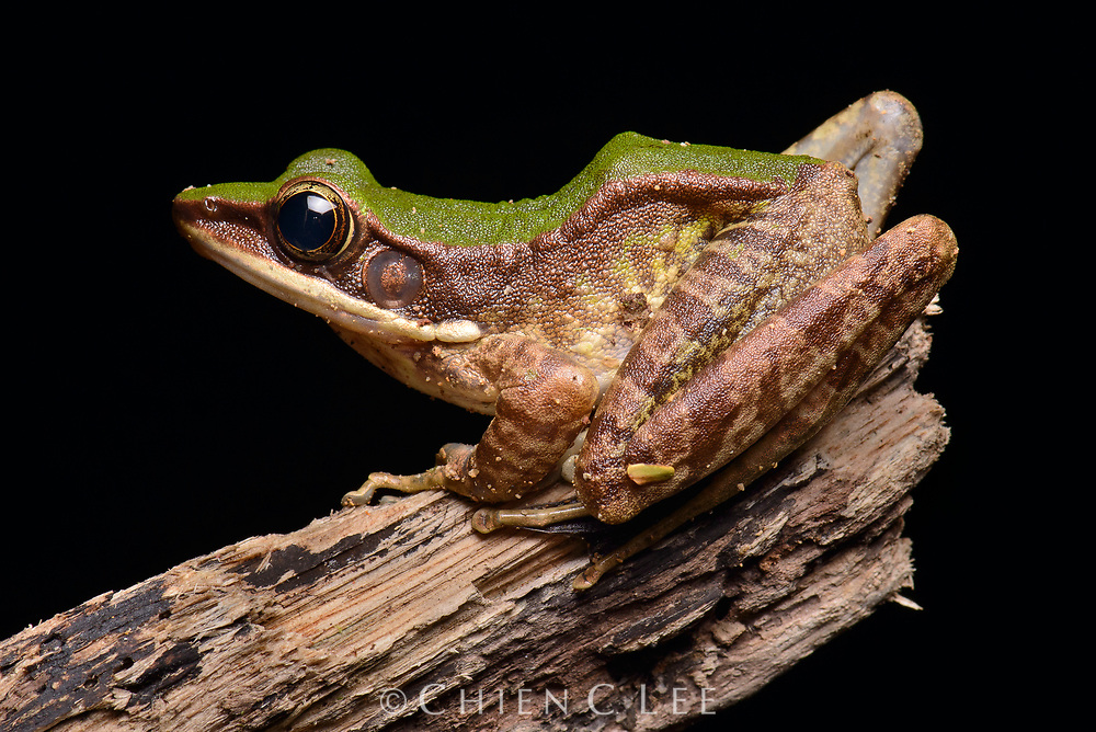 Commonly found perched on branches along rocky clear streams, the Poisonous Rock Frog (Odorrana hosii) is named for its highly toxic skin secretions which make it not only inedible to predators but also fatal to any other frog with which it comes into skin contact with. Sarawak, Malaysia.
