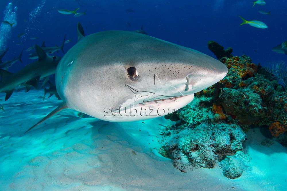 Tiger shark, Galeocerdo cuvier, swimming above coral reef, Bahamas