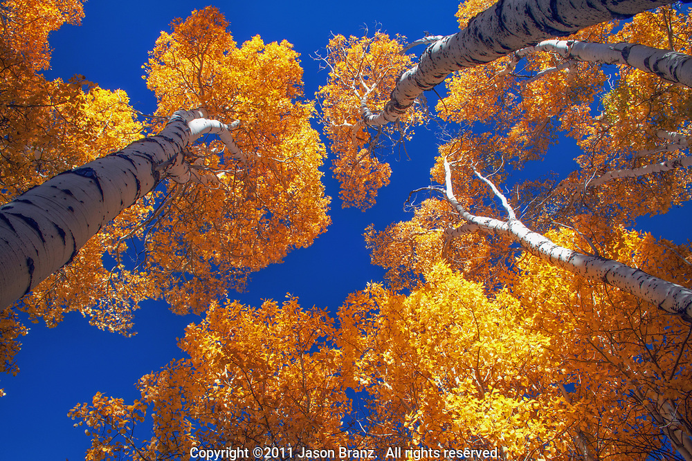 Abstract view of tall aspen trees in autumn, Hope Valley, California.