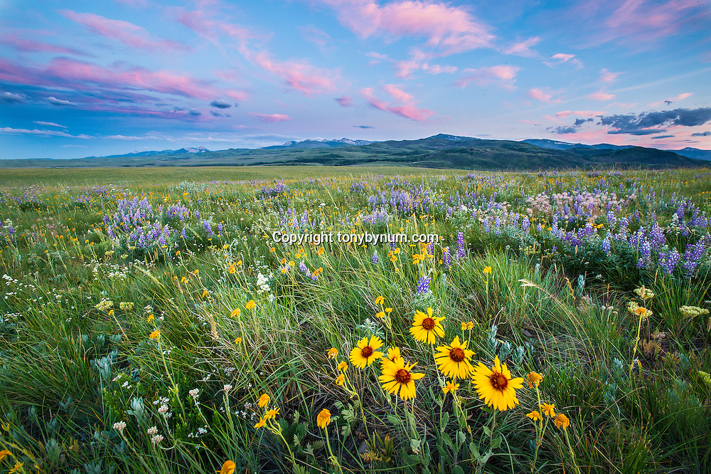 badger two medicine rocky mountain front, prairie mountans flowers