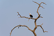 An African fish eagle, Haliaeetus vocifer, perching on a dead tree.