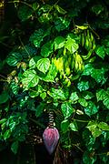 Banana and lush vegetation on the Hamakua Coast, The Big Island, Hawaii USA