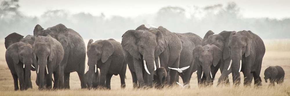 Several elephant families live here in Amboseli where they spend their nights in the forested foothills of Mt. Kilimanjaro.  In the morning, they make their way out across the Amboseli plain in search of open water.<br />