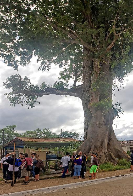 Ceiba tree and bus stop in Moron, Ciego de Avila, Cuba.