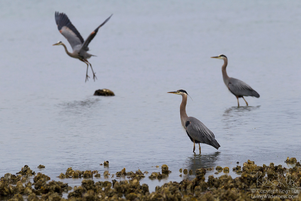 Several great blue herons (Ardea herodias) hunt for fish in Hood Canal near Seabeck, Washington. Dozens of herons congregate in the area near Big Beef Creek early each summer to feast on midshipman fish.