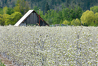 Fruit trees in spring bloom, Entiat Valley Washington USA