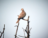 Eurasian Collared-Dove. Bharatpur-- Keoladeo Ghana National Park, Rajasthan, India. Image taken with a Nikon 1 V3 camera and 70-300 mm VR lens.