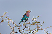 Bee-eater perched on tree in Tanzania, Africa