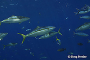 rainbow runners, rainbow yellowtail or Hawaiian salmon, Elagatis bipinnulata, Shark Reef, Viti Levu, Fiji, South Pacific