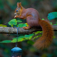 "Squirrel, European Red, (Sciuridae)"", Alverstone, Bird watching, isle of wight, nature, Isle of Wight, England, UK Photographs of the Isle of Wight by photographer Patrick Eden photography photograph canvas canvases"
