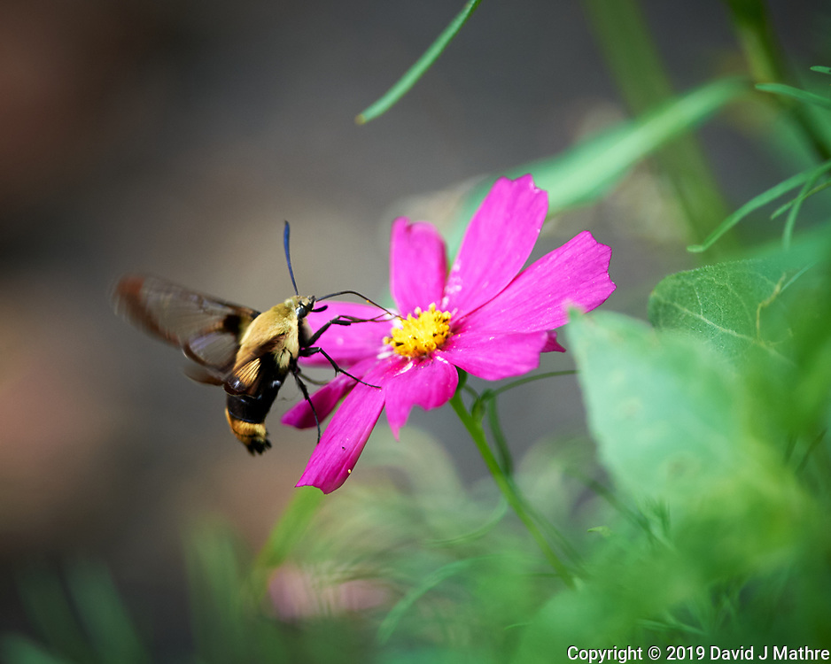 Clearwing Hummingbird Moth. Image taken with a Nikon Df camera and 300 mm f/4 lens