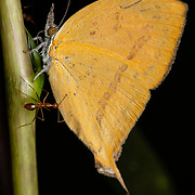 Loxura atymnus, the yamfly, is a species of lycaenid or blue butterfly found in Asia