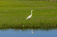Great Egret, <br /> Noyack Bay, Sag Harbor, NY