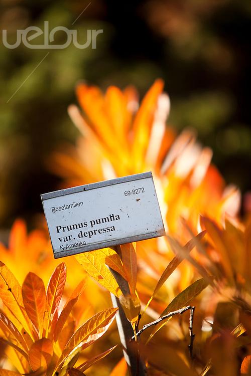 Prunus pumila var. depressa på høsten i botanisk hage