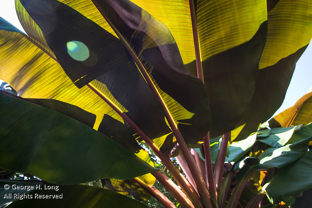 banana palm tree fronds
