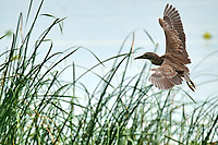 Immature Black-crowned Night Heron (Nycticorax  nycticorax) in flight, Lake Chapala, Jalisco, Mexico