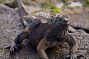 A marine iguana (Amblyrhynchus cristatus) with a small ground finch (Geospiza fuliginosa) along the shore of James Bay, Santiago Island, Galapagos Archipelago - Ecuador.