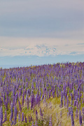 Velvet lupine (Lupinus leucophyllus) growing in prairie habitat near Condon, Oregon. Mount Hood is visible in the background.