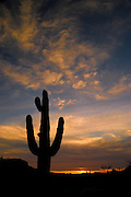 Saguaro Cactus (Carnegiea gigantea) silhouette against the evening sky