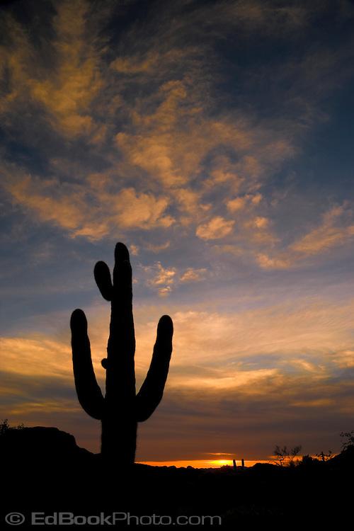 Saguaro Cactus (Carnegiea gigantea) silhouette against the evening sky