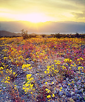I photographed this colorful sunset over Death Valley wildflowers during a 60 Year bloom.  This amazing display of color extend for miles.