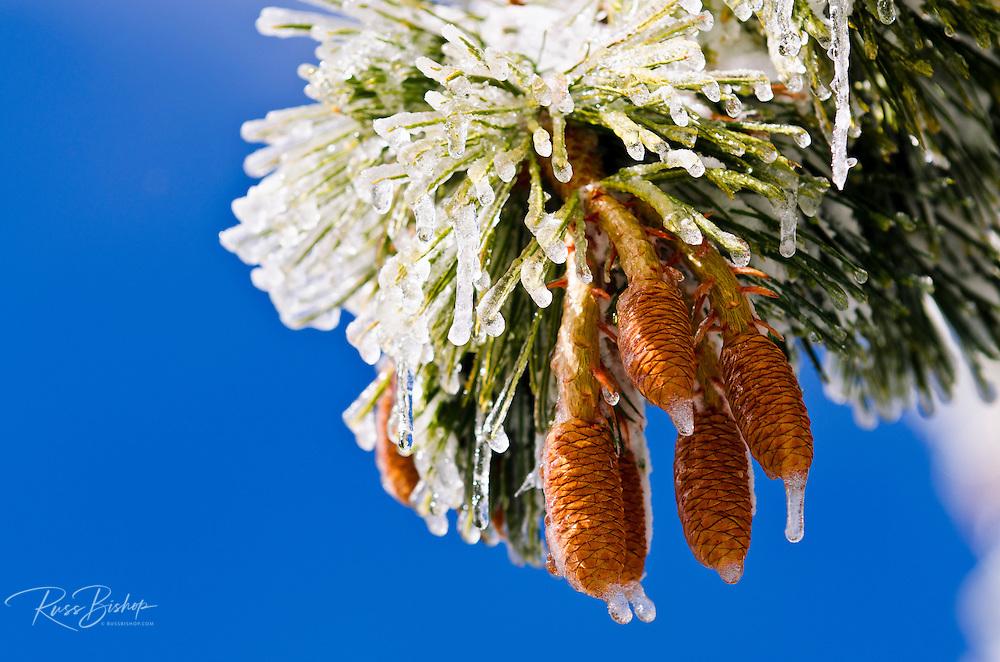 Rime ice on pine cones and needles, San Bernardino National Forest, California