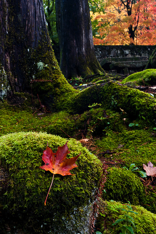 A Red Maple leaf sits atop a moss covered rock in a garden, in the village of Geres.
