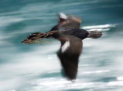 Auckland Shag (Phalacrocorax colensoi) in flight, Auckland Islands, New Zealand